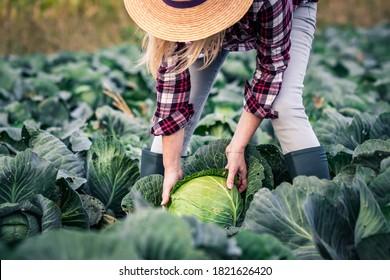 Frauen, die Gemüse aus Kohl auf dem Feld pflücken. Weibliche Bauern, die in ihrem ökologischen Betrieb arbeiten. Ernte in der Herbstsaison