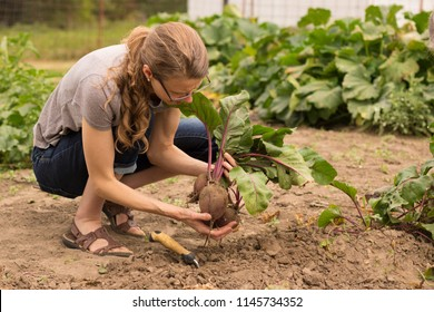 Woman picking fresh beets from a garden