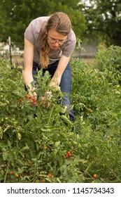 Woman picking fresh cherry tomatos from a garden