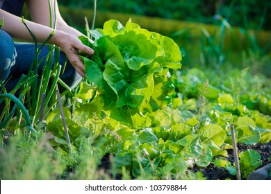 woman picking fresh lettuce in garden