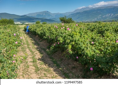 Woman picking fresh pink roses (Rosa damascena, Damask rose) for perfumes and rose oil in garden on a bush during spring. Agricultural concept. Landscape of the rose valley
