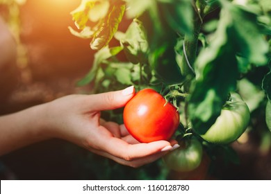 Woman picking fresh tomatoes from a tree. Fresh vegetables. Close-up.