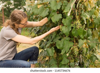 Woman picking grapes from a vine