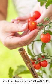 Woman Picking Ripe Cherry Tomatoes On The Vine in the Garden.