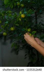 A woman picking Sri Lankan orange or narang from a tree