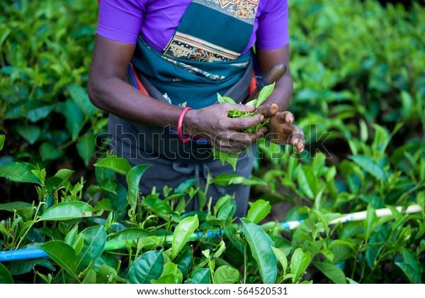 Frauen, die Teeblätter in einer Teeplantage pflücken
