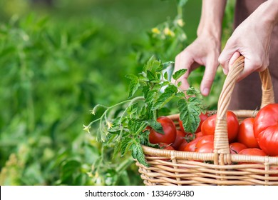Woman is picking tomatoes in the greenhouse , ripe red tomatoes in a basket; farming, gardening and  agriculture  concept