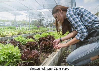 woman are picking vegetable in the greenhouse, garden of planting non-toxic vegetables