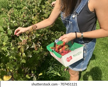 A woman picks raspberries on a pick your own farm