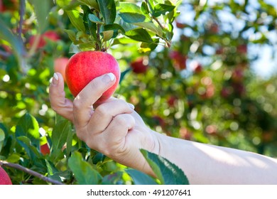 A woman picks a ripe apple from a tree.
