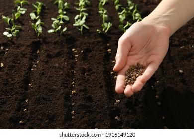 Woman planting beet seeds into fertile soil, closeup. Vegetables growing