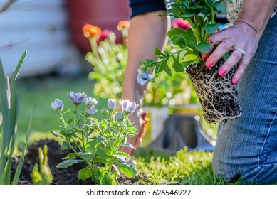 woman planting colorful spring flowers in the garden