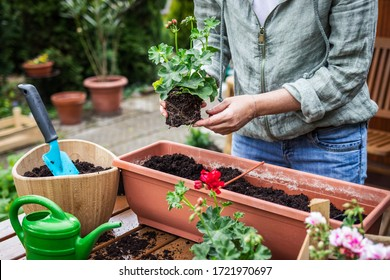 Woman planting geranium flowers into flowerpot on wooden table. Gardening at spring. Potted plant in window box