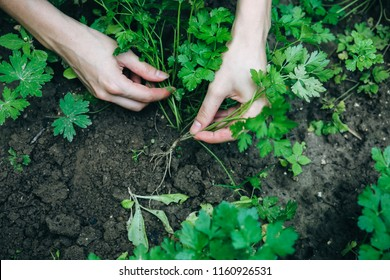 Woman is planting green parsley in home garden. Old rustic hoe in the ground. Farm works in summer. Homegrown plants and ecologically friendly food. Harvest time.