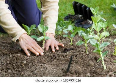 Woman planting out broad bean plants, growing vegetables in a garden, UK