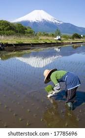 A woman planting rice at the foot of Mt. Fuji