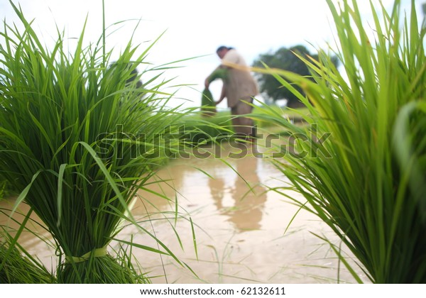 Woman planting rice in peddy