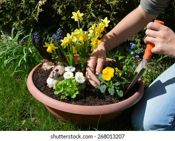 A woman is planting spring flowers in a plant pot