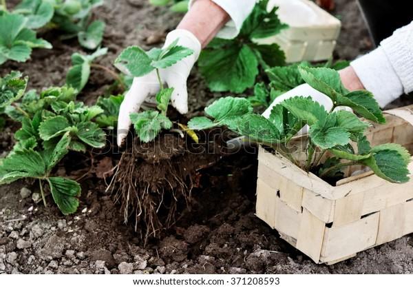 Femme plantant des fraises