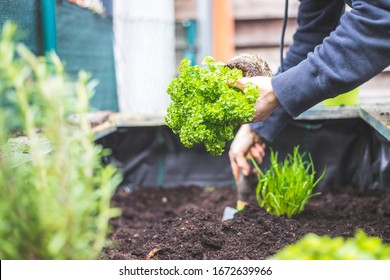Woman is planting vegetables and herbs in raised bed. Fresh plants and soil. Parsley.