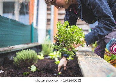 Woman is planting vegetables and herbs in raised bed. Fresh plants and soil.