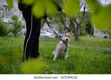 Woman play with Siberian husky puppy.Dog owner have fun with her animal friend doggy.Fluffy little husky puppy play outdoor.Cute husky dog pet have fun on a walk