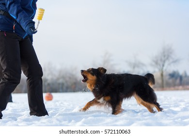 woman plays with an Australian Shepherd dog in the snow