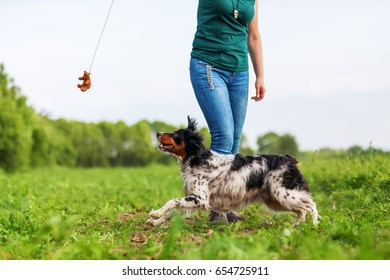 woman plays with her Brittany dog with a flirt tool outdoors