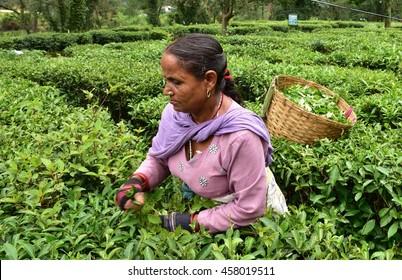 Woman plucking fresh tea leaves at a tea farm in Kangra, Palampur, Himachal Pradesh, India