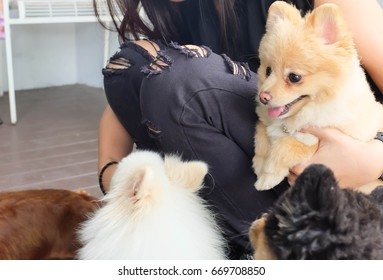 woman and Pomeranian dogs