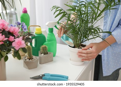 Woman pouring granular fertilizer into pot with house plant at table, closeup