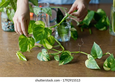 Woman propagating pothos plant from cutting in water. Water propagation for indoor plants.