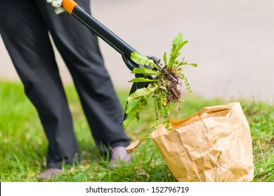 Woman pulling weeds out, dandelion with a roots