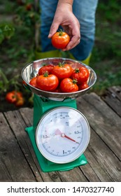 Woman puts tomatoes on scales. Home organic garden. Measure tomatoes weight in the farm.