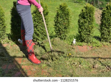 Woman raking fresh mowed grass of a garden lawn in a garden