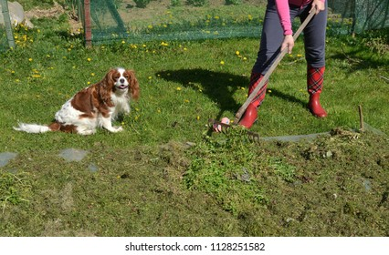 Woman raking in a garden in a company with her charming dog - cavalier king charles spaniel