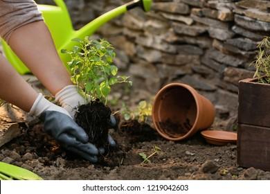 Woman repotting fresh mint outdoors