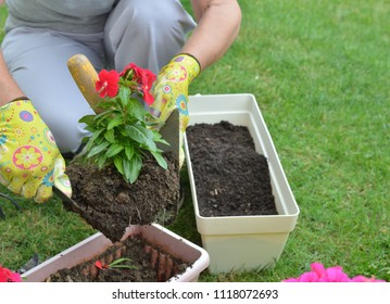 Woman re-potting red flower in a garden in spring