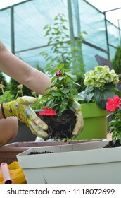 Woman re-potting red flower in a lush garden in spring