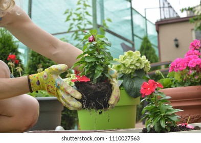 Woman re-potting red flower seedling in a lush garden in spring