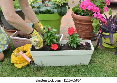 Woman re-potting red flowers in a garden in spring