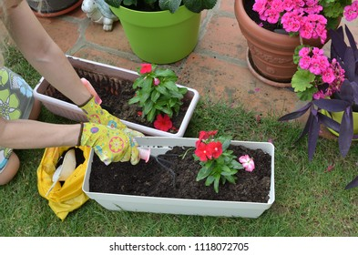 Woman re-potting red flowers on a garden table - top view