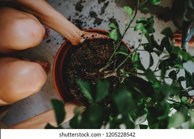 Woman repotting a tree