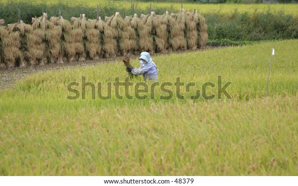 Woman in rice field near Yonezawa, Japan.