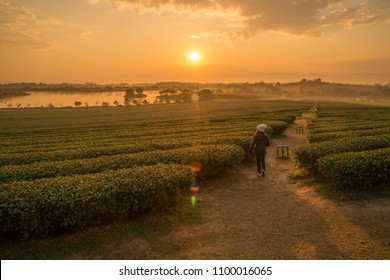 Woman running in tea plantation field during sunrise over Singha park in Chiang Rai province of Thailand.