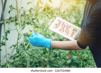 Woman scientist genetic engineer with a tablet testing the plant for the presence of genetic modification. GMO products and organisms