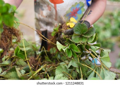 Woman selecting strawberries plants in the farm. Agriculture industry concept