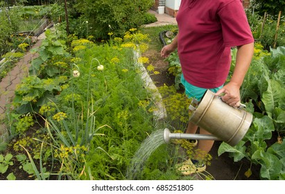 Woman in shorts and t-shirt watering vegetable plants in garden with an old watering can.