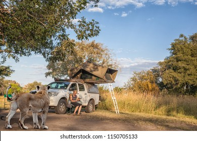 woman sitting in front of her safari car with a roof top tent, when a lioness arrives at the campsite. Travel concept for safari fun and danger, Caprivi, Namibia, Africa