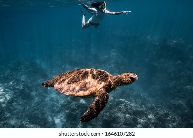 woman snorkeling with a green sea turtle off the coast of lanai, Hawaii. maui, county Hawaii. green sea turtles in the ocean with the reef.